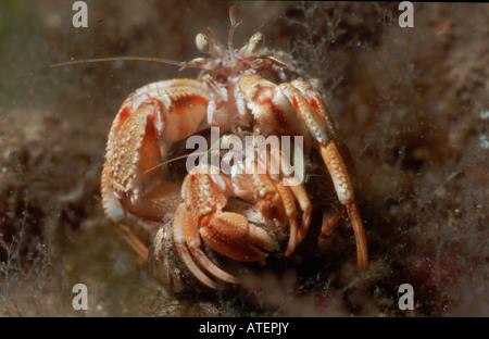 Large Hermit Crab / Nordsee-Einsiedlerkrebs / Gemeiner Einsiedler