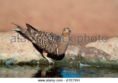 Namaqua Sandgrouse / Namaflughuhn - Stock Photo