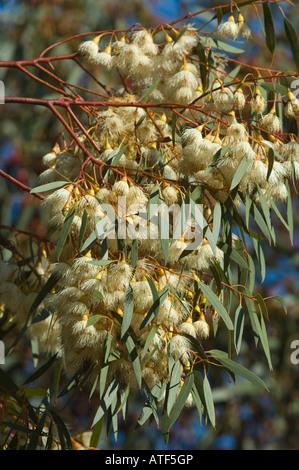 Yellow Gum South Australian Blue Gum (Eucalyptus leucoxylon 'Alba') flowers, Eden Valley Farm Narrogin Western Australia, - Stock Photo