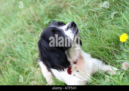 English Springer Spaniel sitting in grass field with yellow dandelions looking up - Stock Photo