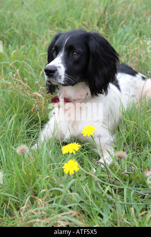 English Springer Spaniel sitting in grass field with yellow dandelions - Stock Photo