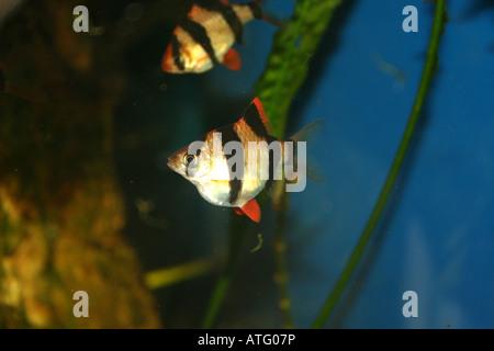 Barbus tetrazona tropical fish - Stock Photo
