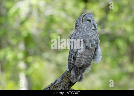 Stock photo of a great gray owl sitting on a branch. - Stock Photo