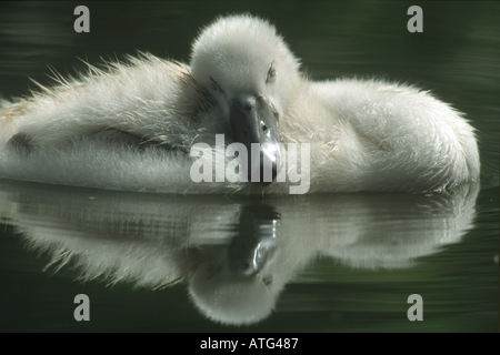 Mute swan - chick in water / Cygnus olor - Stock Photo