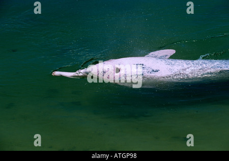 Indo Pacific humpback dolphin pink phase (Sousa chinensis) Captive - Stock Photo