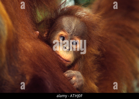 Baby Sumatran orangutan - Stock Photo