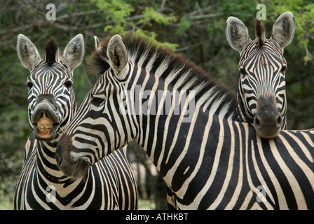 A group of three burchell's zebra posing together in the African bush - Stock Photo