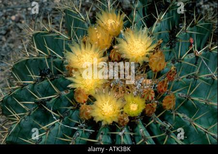 Blue Barrel Cactus - Stock Photo