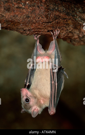 Egyptian Rousette / Egyptian Fruit Bat / Nil-Flughund - Stock Photo