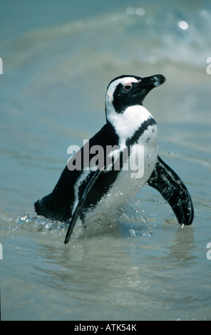 Jackass Penguin / Brillenpinguin - Stock Photo