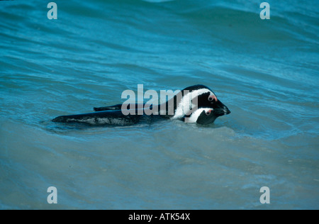 Jackass Penguin / Brillenpinguin - Stock Photo