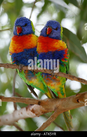 Rainbow Lory / Regenbogenlori / Gebirgslori - Stock Photo