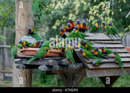 Rainbow Lory / Regenbogenlori / Gebirgslori - Stock Photo