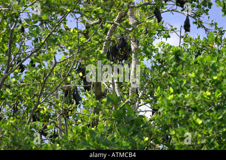 Large Fox fruit bats roosting in the daytime at the tops of trees along the Daintree river Queensland Australia - Stock Photo