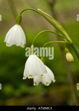 Summer Snowflake or Loddon Lily, Leucojum aestivum subspecies aestivum - Stock Photo