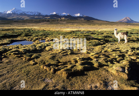 Alpaca on a bofedal near Colchane with Cerro Cabaray 6433 m Isluga National Park Chile - Stock Photo