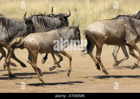 Wildebeest migration, Masai Mara, running wet wildebeests after Mara crossing, Masai Mara,Kenya - Stock Photo