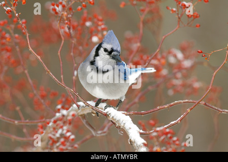Blue Jay Perched in Snow Covered Multiflora Rose Berries - Stock Photo