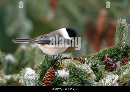 Carolina Chickadee Perched in Snow Covered Spruce Tree - Stock Photo