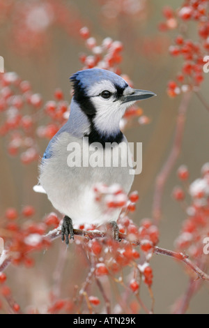 Blue Jay Perched in Snow Covered Multiflora Rose Berries - Vertical - Stock Photo