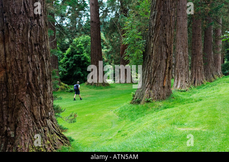 Benmore Botanic Garden, Dunoon, Scotland. Asian and Pacific N. America plants collection. Sierra Redwood Avenue. Giant sequoias