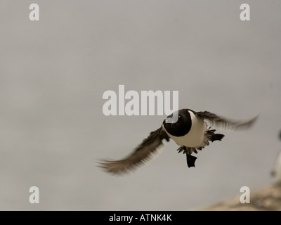 Little Auk (alle alle) coming in to land - Stock Photo