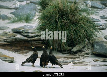 HAWK, Striated Caracara (Phalcoboenus australis) or Johnny Rooks, Falkland Islands, New Island, Calling group - Stock Photo