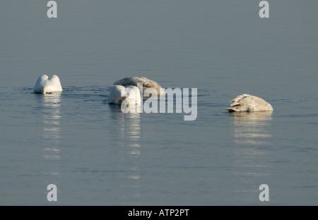 Two adults and two immature Mute Swans Cygnus olor feeding in the sheltered water of  Lamlash Bay Isle of Arran - Stock Photo
