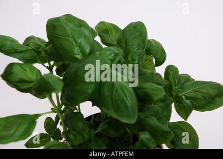 basilikum ocimum basilicum heilpflanze stock photo. Black Bedroom Furniture Sets. Home Design Ideas
