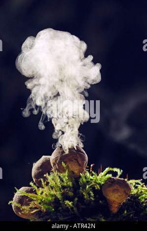 Common Puffball - Stock Photo