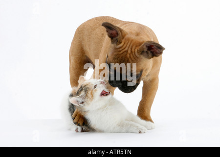 French Bulldog and Domestic Cat - Stock Photo