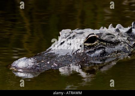 Florida alligator - Stock Photo