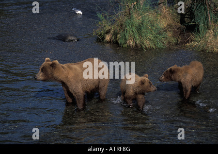 Brown Bear Female with two cubs, Ursus arctos. - Stock Photo