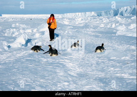 Emperor Penguin - Stock Photo