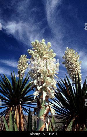 Giant Dagger Yuccas (Yucca carnerosana) in Dagger Flat, - Stock Photo