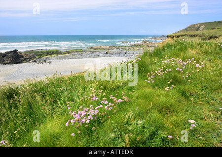 Thrift (aka Sea pink Armeria maritima) growing beside Dollar Cove (also known as Jangye Ryn) on the Lizard Peninsula - Stock Photo