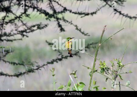 Africa Tanzania Lake Manyara National Park Little Bee eater Merops pusillus perched on a brach - Stock Photo