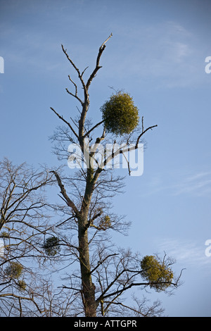 mistletoe ( Loranthus europaeus)Cambridge. Cambridgeshire. East Anglia. UK. - Stock Photo