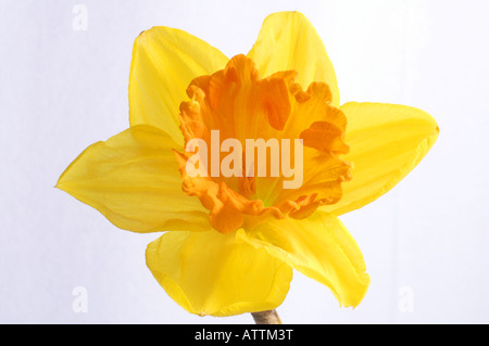 Gelbe Narzisse (Narcissus pseudonarcissus) / Osterglocke - Stock Photo