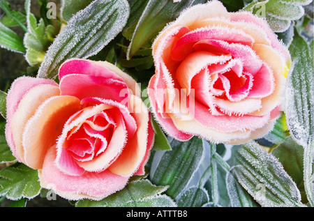 two frost covered pink roses - Stock Photo