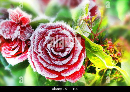 single frost covered red rose - Stock Photo