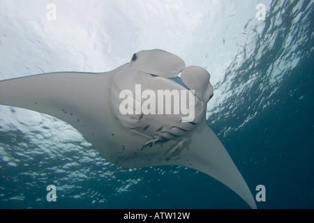 Manta ray, Manta birostris, with remora, Palau, Micronesia. - Stock Photo