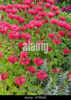Wild bergamot (Monarda fistulosa 'Gardenview Red') - Stock Photo