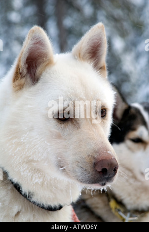 Team of husky dogs ready to pull a musher and sledge beond the artic circle Lapland Finland - Stock Photo