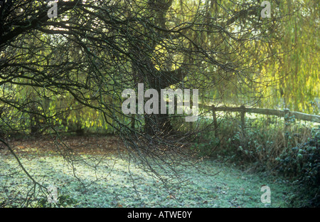 Corner of garden with bare winter branches of Cherry plum tree and frosty grass wood fence and backlit Golden weeping - Stock Photo