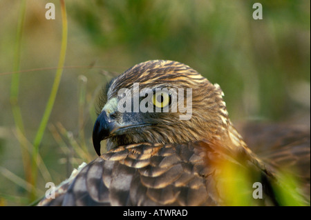 Swamp Harrier Circus approximans - Stock Photo