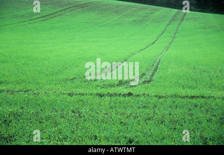 Part of field of green and established winter barley with tractor tramlines crossing and slope backed by hedge - Stock Photo