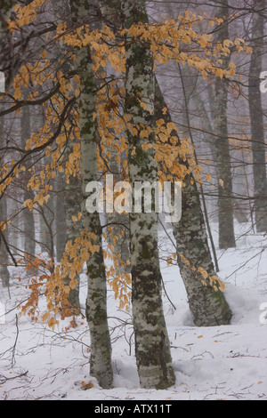 High altitude beech tree (Fagus sylvatica) woodlands with foliage, around the source of the River Loire in winter - Stock Photo
