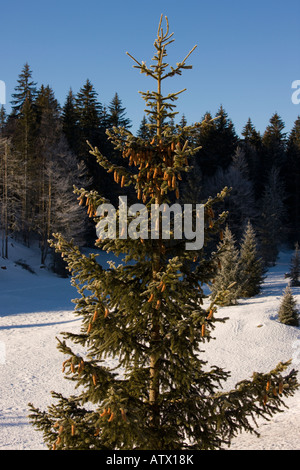 Norway Spruce Picea abies in winter with cones Christmas tree Jura Mountains East France - Stock Photo