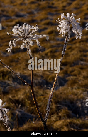 Hogweed Heracleum sphondylium with hoarfrost midwinter - Stock Photo
